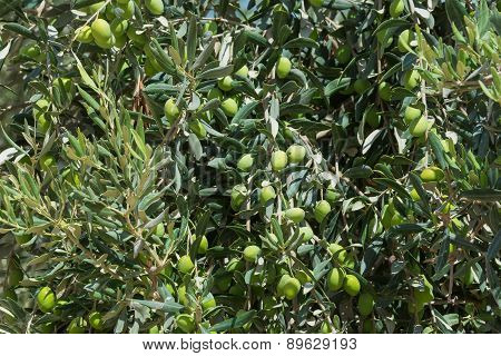 Olive Tree With Ripening Fruits