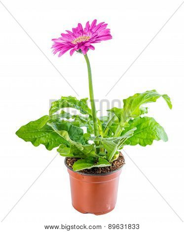 Beautiful Blooming Pink Flower Gerbera In Flowerpot Is Isolated On White Background, Closeup