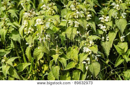 Budding And Blooming White Dead-nettles From Close