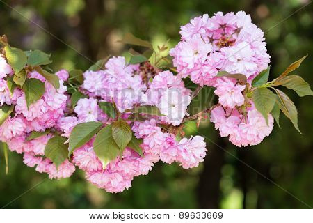 pink flower, cherry blossom at spring closeup