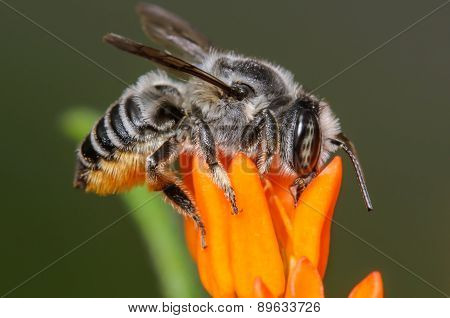 Large Black And White Bee On An Orange Milkweed Flower