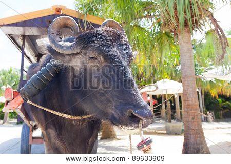 Water Buffalo In Japan