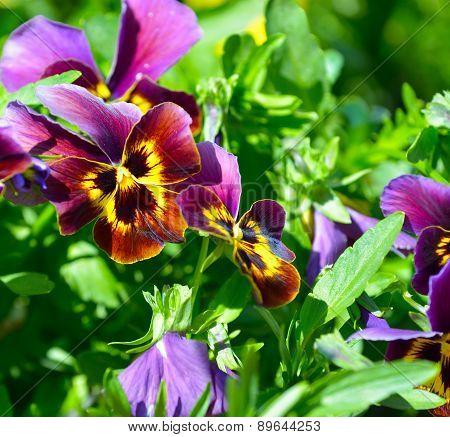 Beautiful Yellow Purple Blue Violet Pansies Flower Plant