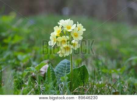 Cowslip (Primula veris)