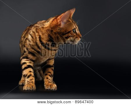 Bengal Cat Looking at Right on Black background