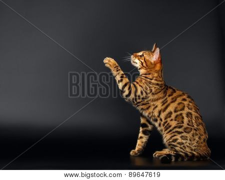 Bengal Cat Raising up Paw on Black background