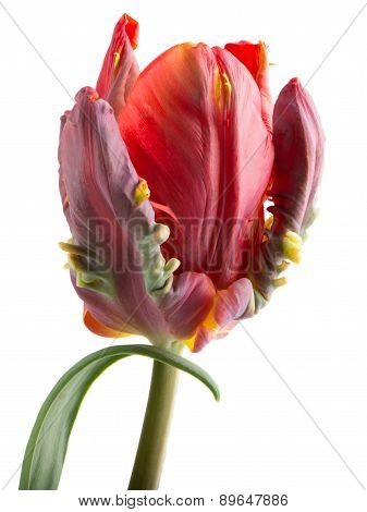 Tulip Red And Green Rococo With Leaf