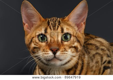 Close-up Bengal Cat Looking in Camera on Black