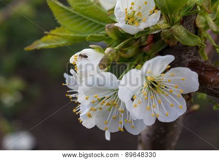 Ant On Flower Blossoming Cherry