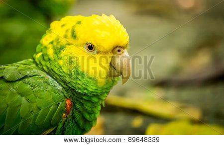 Portrait Of ..portrait Of Yellow-headed Amazon Parrot