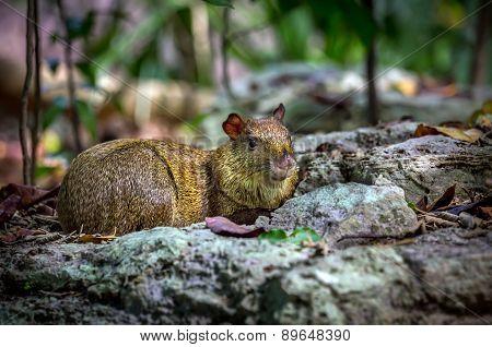 Azara's Agouti Rodent
