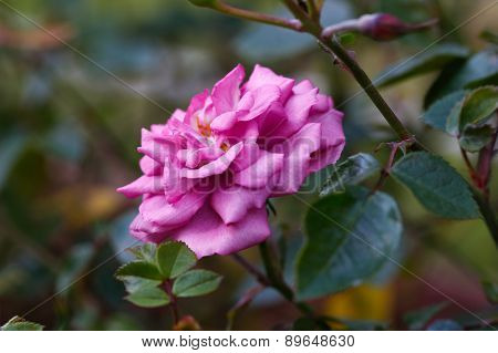 Beautiful pink rose in a garden.