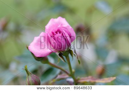 Pink rose bud in garden.