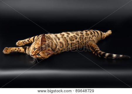 Bengal Cat Rest on Black Background