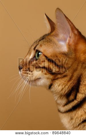 Close-up Bengal Cat at Profile view