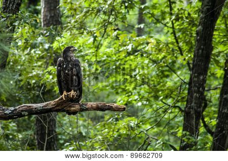 Young Bald Eagle On Tree Limb