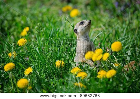 Meerkat In Green Grass With Dandelions