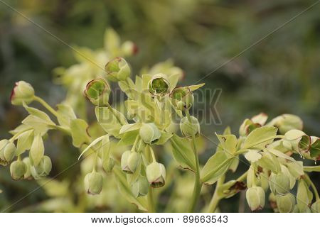 Green Hellebore Blossoms