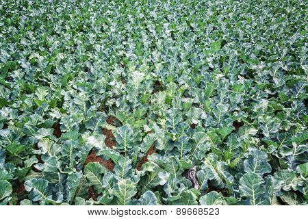 Field Of Green Kale