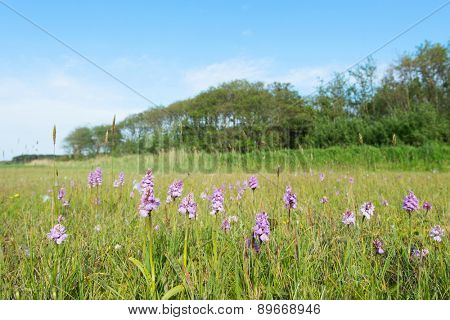 Landscape with field wild orchids