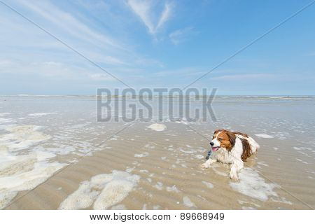 Dog swimming in North sea beach at Dutch wadden island Terschelling