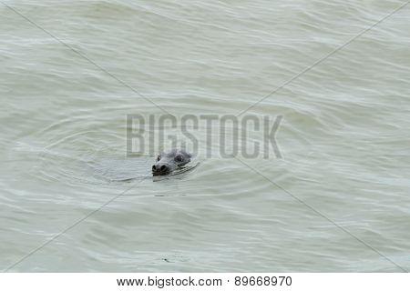 Single seal swimming in wadden sea