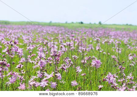 Field full Lychnis flowers