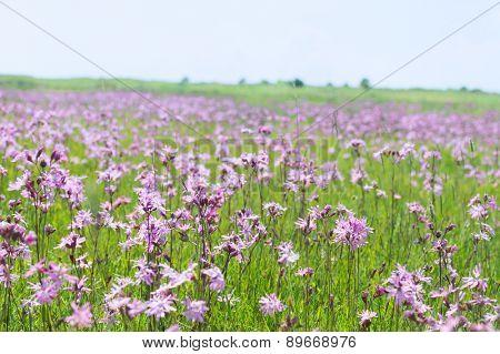 Field full Lychnis flowers