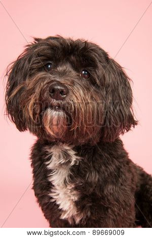 Little black Tibetan Terrier on pink background