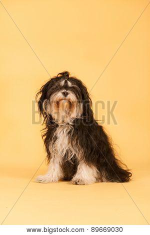 Tibetan Terrier in studio on yellow background