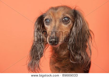 Long haired dachshund on beige background