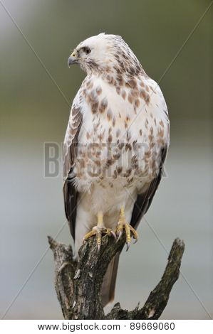 Common Blonde buzzard in nature
