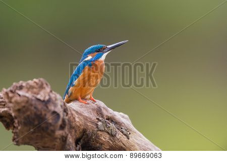 Common kingfisher on tree trunk