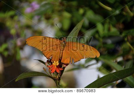 Julia Butterfly on Flower