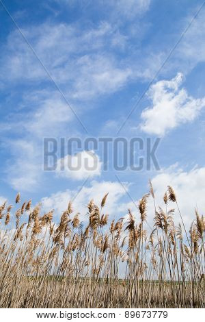 Tall Marsh Grass Against a Blue Sky With White Cloud