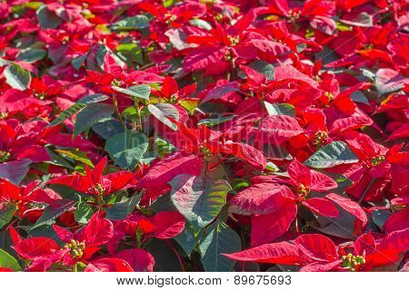Garden with red poinsettia flowers or christmas star
