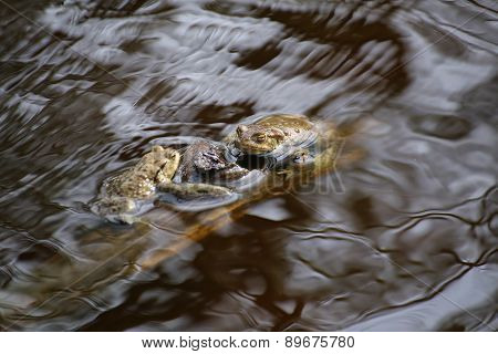 Moor Frogs In The Water