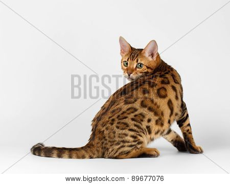 Bengal Cat turned on White background