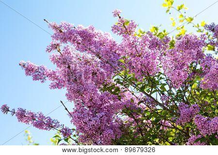 Syringa Vulgaris Blossom At Spring Time