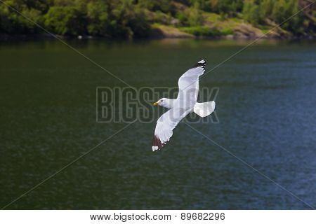 Seagull bird in Norway fjord - nature and travel background