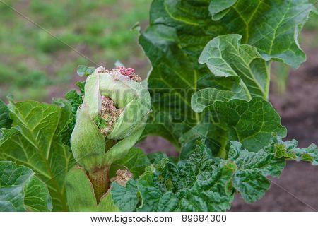 Rhubarb Bud Starts To Blossom