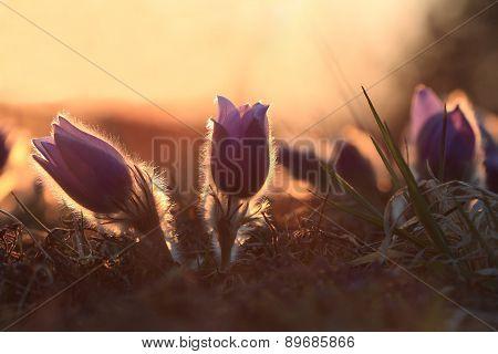 Spring Flower Pasqueflower- Pulsatilla Grandis At Sunset Time