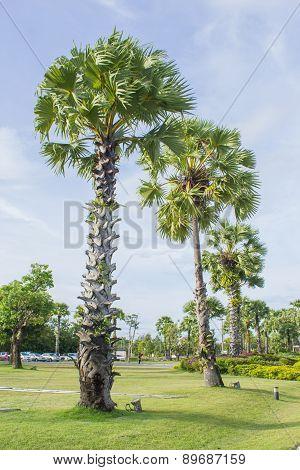 Asian Palmyra Palm, Toddy Palm, Sugar Palm, Cambodian Palm