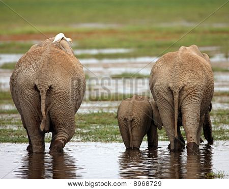 Family Of African Elephants
