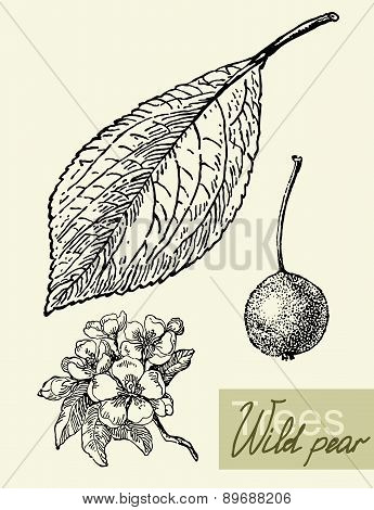 Vector leaves, flowers and fruits of the wild pear.