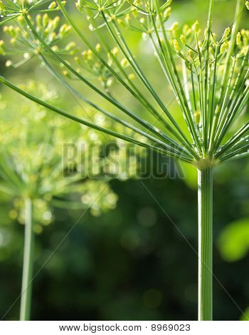 Dill or fennel flower