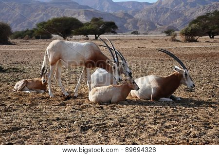 Arabian Oryx Family