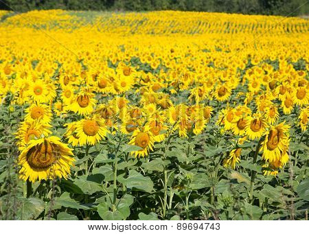 Sunflowers in the Dordogne