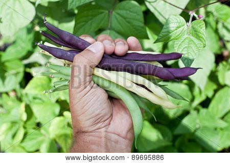 Fresh string beans in man's hand. Green plants on the background.