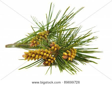 Pine branch isolated on a white background